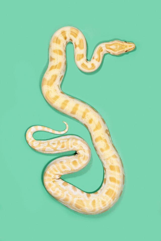 Albino-Burmese-Python-Python-bivittatus