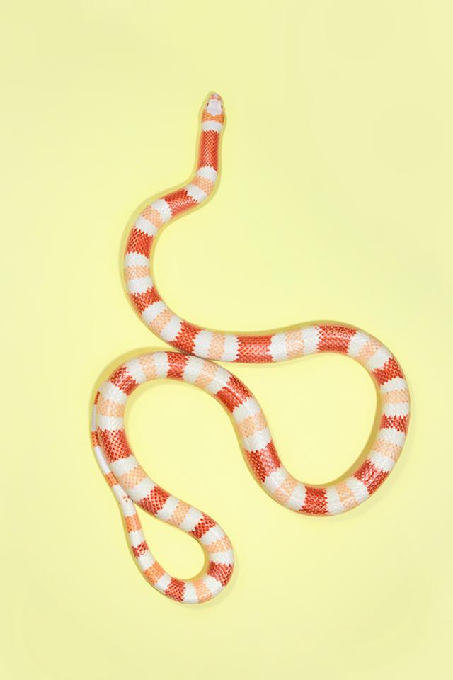 Albino-Nelsons-Milk-Snake-Lampropeltis-triangulum-nelsoni-