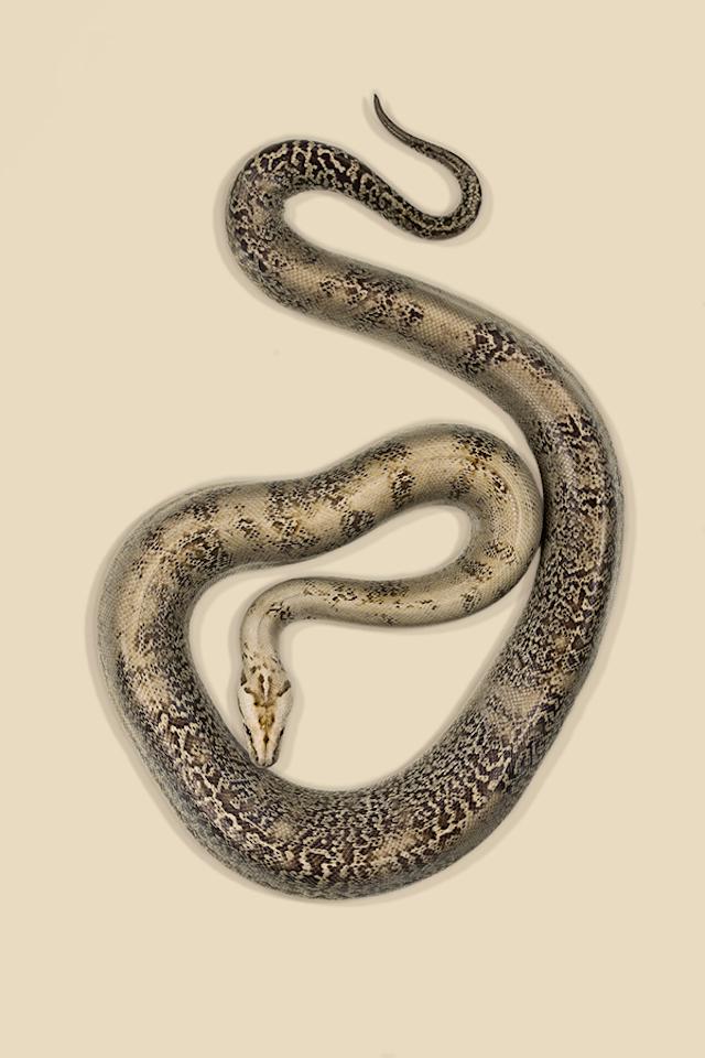 Burmese-Python-Python-bivittatus