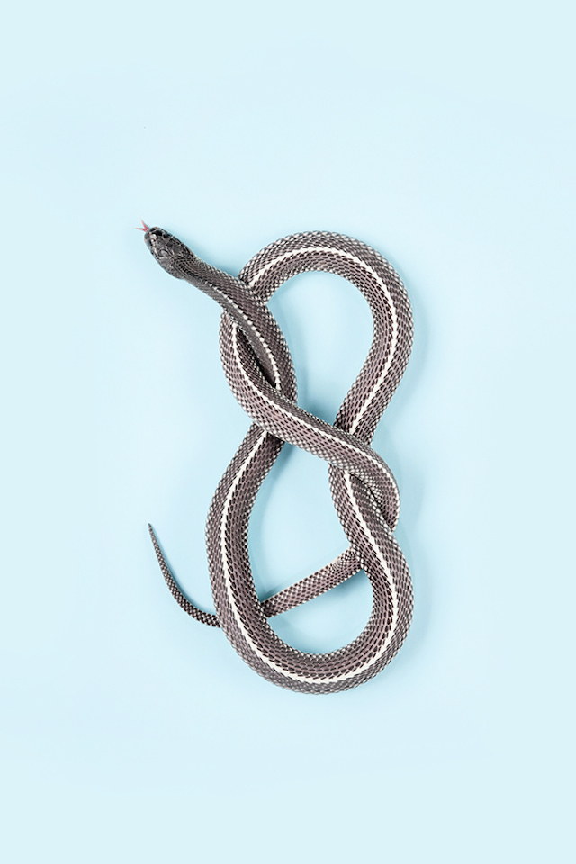 Common-File-Snake-Gonionotophis-capensis-capensi3