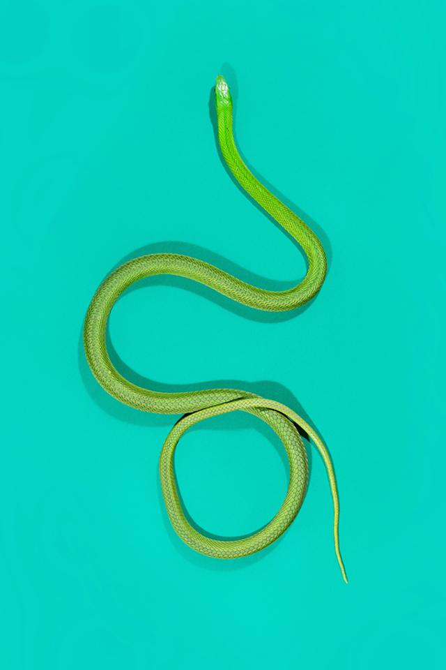GreenMamba-Dendroaspis-angusticeps-2