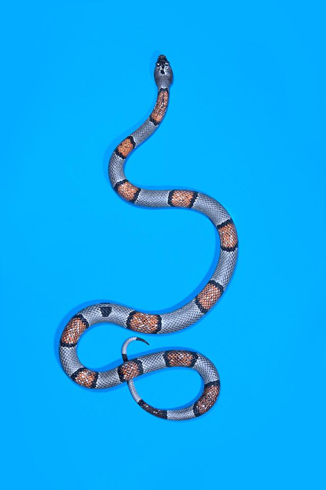 Grey-banded-king-snake-Lampropeltis-alterna