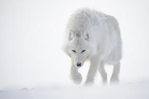un loup arctique (île d'Ellesmere, Canada), le « fantôme de la toundra »